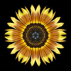 Yellow and Brown Sunflower I
