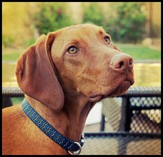 a companion to run with and have fun with- when i settle I'll have a vizsla