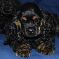 Cocker spaniel with tan points
