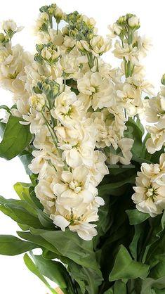 Matthiola Centum Cream