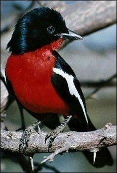 Male Crimson Breasted Shrike