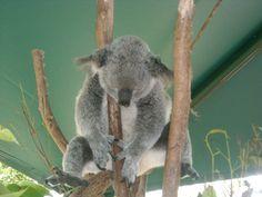 Blinky Bill the koala having a kip. Australia, Bear, Animals, Animales, Animaux, Bears, Animal, Animais