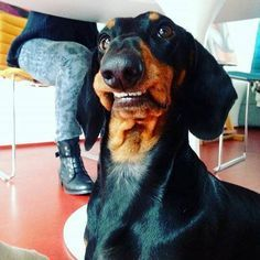 Funny Doxie expression