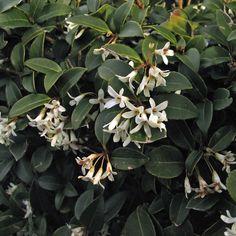 Schijnhulst 'burkwoodii' - groenblijvende haag
