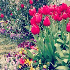 FlowerGarden  #tulip