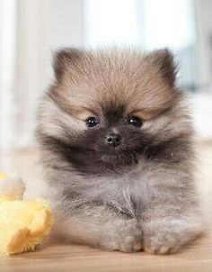 Marvelous Pomeranian Does Your Dog Measure Up and Does It Matter Characteristics. All About Pomeranian Does Your Dog Measure Up and Does It Matter Characteristics. Wolf Sable Pomeranian, Cute Pomeranian, Pomeranian Colors, Cute Puppies, Cute Dogs, Dogs And Puppies, Huskies Puppies, Doggies, Cute Baby Animals