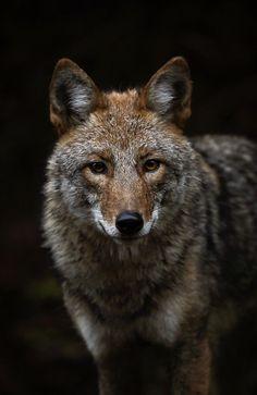 Eastern Coyote by Brittany Crossman