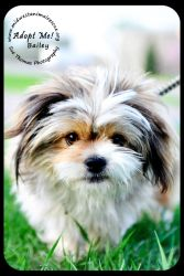 Bailey is an adoptable Shih Tzu Dog in Minneapolis, MN.  Adoption Fee - Meet Bailey! Little Bailey had a pelvic fracture after being hit by a car. He is all fixed up now and ready to find a ne...