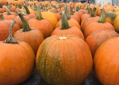 Pumpkins Harvested ready for the Chewton Glen Halloween Displays