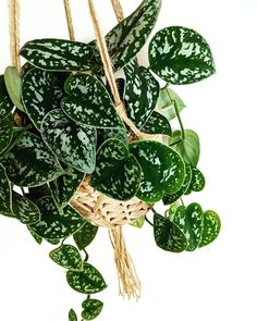 Grünpflanzen scindapsus pictus satin pothos Body Jewelry - The latest Fashion Statement The idea of Hanging Plants Outdoor, Plants Indoor, Porch Plants, Diy Hanging, Air Plants, Pothos Plant, Decoration Plante, Plants Are Friends, House Plants Decor