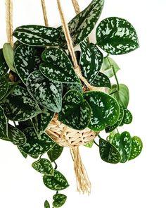scindapsus pictus ~ satin pothos