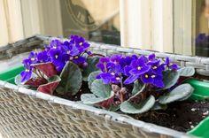 3 ügyes módszer a fokföldi ibolya szaporítására | Hobbikert.hu Indoor Plants, Bonsai, Spring, African Violet, Gardening, Inside Plants, Lawn And Garden, Horticulture, String Garden