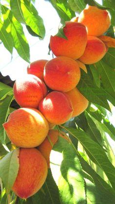 Keto Diet Desserts Recipes - What Is A Keto Diet Videos - Keto Diet Plan Chart - Fruit Tree Garden, Garden Trees, Fruit Trees, Fruit Drinks, Fruit Smoothies, Fruits For Dogs, Kumquat Tree, Fruit Benefits, Peach Fruit