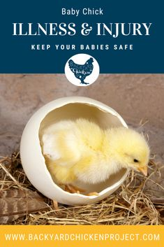 There's no doubt about it, baby chicks are adorable and fun. However, they come with a lot of responsibility for their health and well being, and it's good to be prepared about chick illness and injury before it happens! Raising Backyard Chickens, Baby Chickens, Day Old Chicks, Diy Chicken Coop Plans, Chicken Garden, Health Problems, Farming, Homesteading, Sustainability