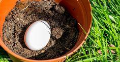 Entierra unhuevo enuna maceta, loque sucederá después tesorprenderá