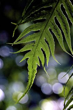 ♀ Bokeh photography F for fern leaf Shades Of Green, Green And Grey, Green Leaves, Plant Leaves, Solomons Seal, Bokeh Photography, Green Nature, Belleza Natural, Belle Photo