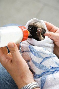 New Born #Pug Puppy