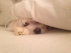 Peek A Boo   Bentley  #maltese   Puppy