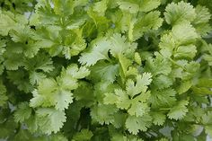 Cilantro leaves.  Great plant for early and late plantings