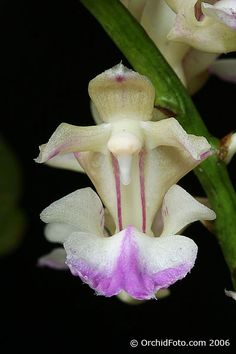 Flower-detail of Aerides houlletiana