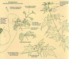 Developing Fine Branching on Deciduous Bonsai