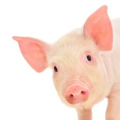 Here's another fascinating animal science research study involving piglets and our Accelerated Solvent Extraction system for sample preparation.
