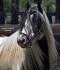 horse / gypsy