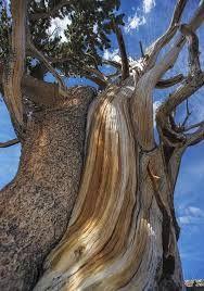 half dead pine tree - Google-haku