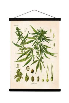 This handmade canvas wall hanging features a reproduction of a vintage cannabis print from Köhler's Medizinal Pflanzen - Medicinal Plant Guide. Printed with archival ink on textured canvas with stained wood trim. Ready to hang, no framing needed.