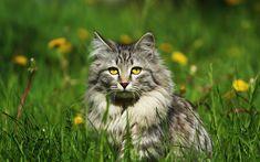 Download wallpapers gray fluffy cat, field, green grass, Siberian cat, yellow wildflowers