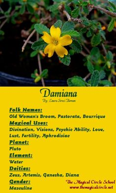 Damiana Magical Properties - The Magical Circle School - www.themagicalcircle.net