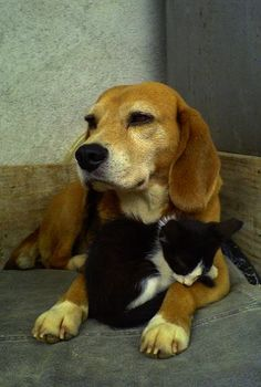 How to Introduce Kittens to Dogs: Your Cats and Dogs CAN Get Along Beagle dog with black and white kitten Fluffy Kittens, Cute Cats And Kittens, Kittens Cutest, Ragdoll Kittens, Tabby Cats, Kitty Cats, Kittens Playing, Baby Kittens, Beagle Dog