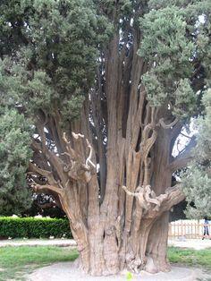 """O Sarv-e Abar-Kuh (""""Cipreste de Abar-Kuh""""), também chamado de Cipreste Zoroastriano (Cupressus sempervirens), tem cerca de 4 mil anos e está localizado em Abarkuh, Yazd, Irã (Wikimedia Commons)"""