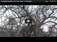 Leopard Hoists Rhino Into a Tree