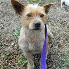 Pictures of Brianna a Schnauzer (Miniature) for adoption in Allentown, NJ who needs a loving home.