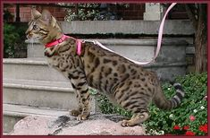 Bengal Cat Profile, face and body.