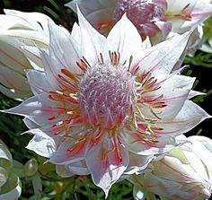 Designs For Garden Flower Beds Serruria Florida - Blushing Bride Protea Flor Protea, Protea Flower, Flower Pots, Elegant Flowers, Exotic Flowers, Beautiful Flowers, Bridesmaid Flowers, Bridal Flowers, Protea Wedding