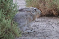 Lepus capensis - Google 検索