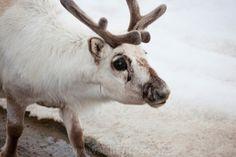 have some cute pics of svalbard reindeer