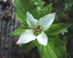 Provincial flower of British Columbia.... Pacific Dogwood