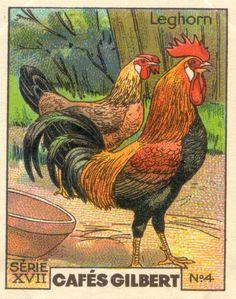 gilbert poules 4