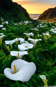 Calla Valley - Every spring the calla lillies in this secluded beach valley treat us with their beautiful display of colors & forms, aided by warm glow of the setting sun & luminous pacific waves