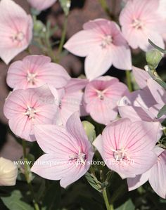 Dewy bell flowers platycodon grandiflorum gf platycodon dewy bell flowers platycodon grandiflorum gf platycodon common name balloon flowers pinterest balloon flowers and flowers mightylinksfo