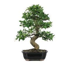 Ficus microcarpa 'Golden Gate'. Why are you so expensive! The price of nature. A beautiful indoor Bonsai Tree.