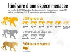 Infographie tigre