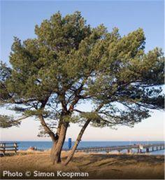 Scots Pine - Pinus sylvestris