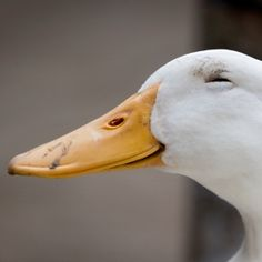 Extremely suspicious duck.