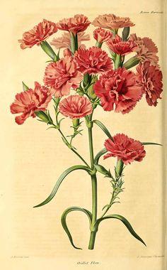 315852 Dianthus caryophyllus L. / Revue horticole, vol. 35:  (1863)