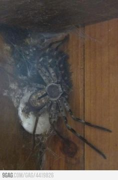 A gigantic Australian Huntsman spider and its babies. There's a whole lot of nope going on here! Huntsman Spider, Kill It With Fire, Oh Hell No, Flipper, Dear God, In This World, Creepy, At Least, Weird