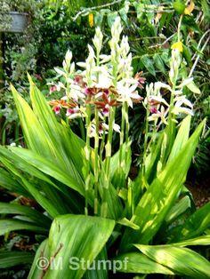 Orquidea Phaius tankervilleae Greenhouse, Flores, Flowers, Garden, Orchids, Green, Orchidaceae, Hanging Plants, Plants